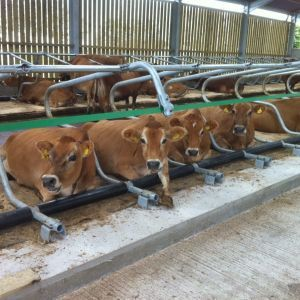 jerseys in cubicles 003-freestall-divider-cosmos-spinder-dairy-housing-systems