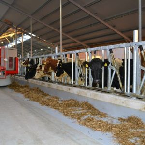 spinder002775-safety-feed-front-heifers-and-jerseys-spinder-dairy-housing-systems