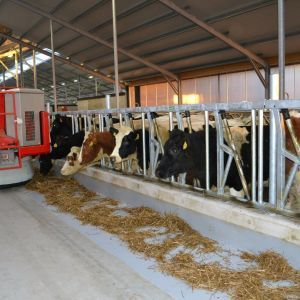 spinder002777-safety-feed-front-heifers-and-jerseys-spinder-dairy-housing-systems