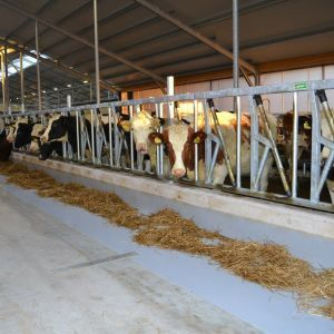 spinder002797-safety-feed-front-heifers-and-jerseys-spinder-dairy-housing-systems