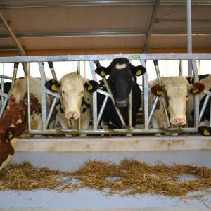 spinder002803-safety-feed-front-heifers-and-jerseys-spinder-dairy-housing-systems