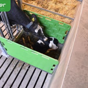 cuddle-box- cow is licking calf -spinder-dairy-housing-concepts-spinder006068